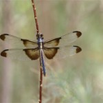 The Nature Of Our Valley: The Marvels of Dragonflies
