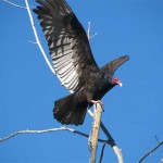 Nature Of Our Valley: 25 Things You Didn't Know about Turkey Vultures